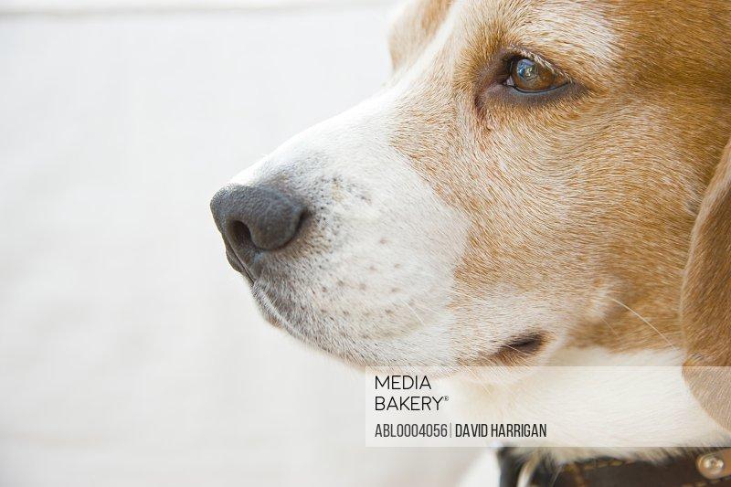 Profile of a beagle - close up