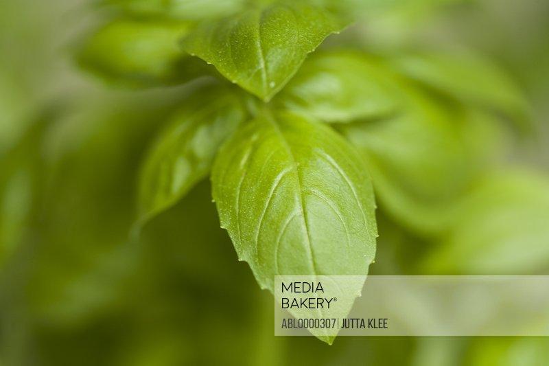 Extreme close up of basil leaves (Ocimum basilicum)