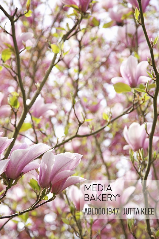 Close up of a magnolia tree with pink flowers