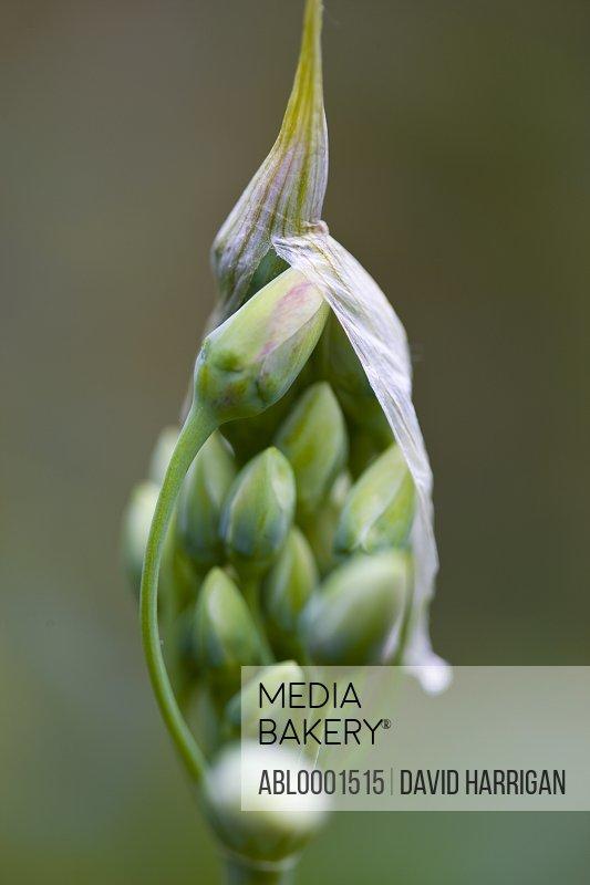 Close up of wild garlic buds - Allium