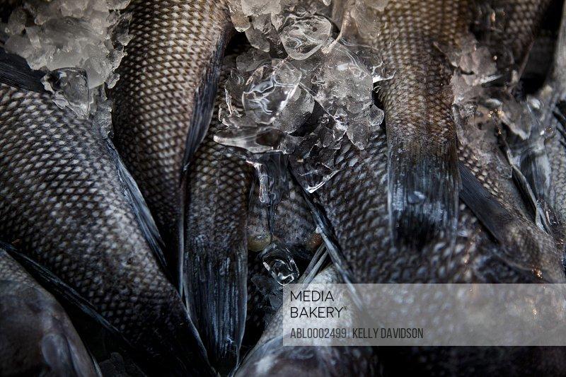 Fish and Melting Ice, Full Frame