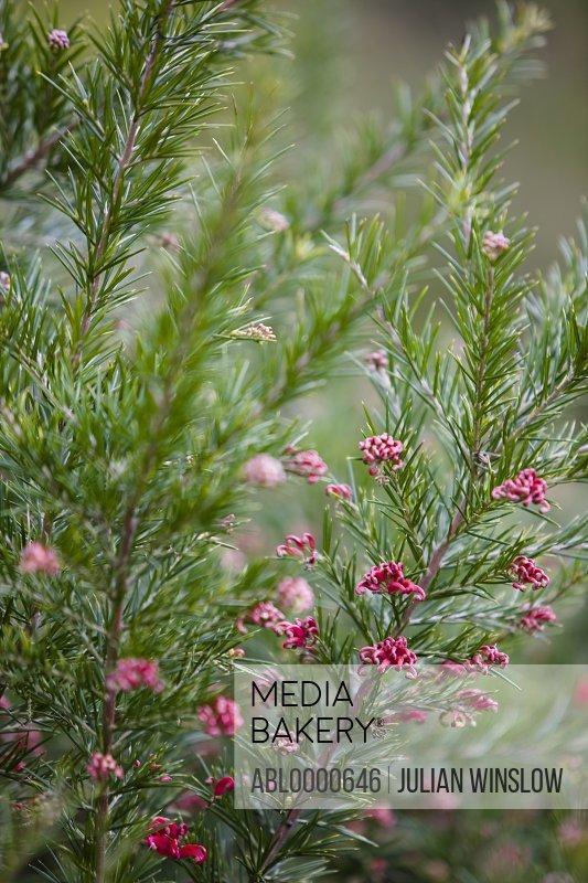 Rosemary Grevillea    Grevillea rosmarinifolia