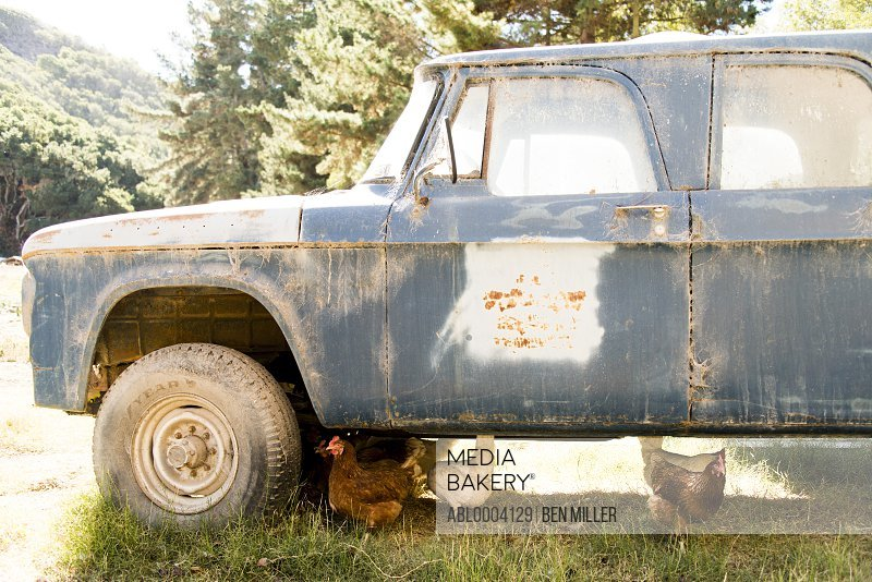 Chickens Roaming under Abandoned Car