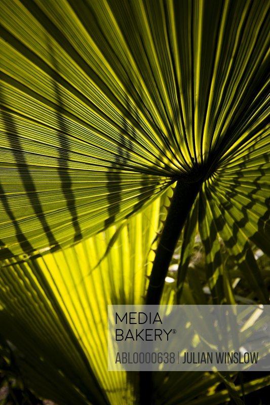 Washingtonia filifera leaf