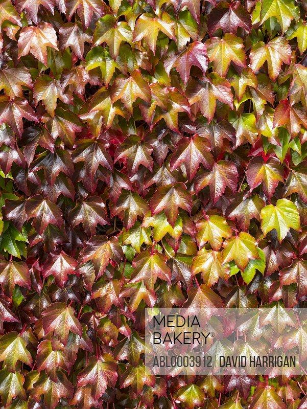 Boston Ivy Autumn Leaves, Full Frame