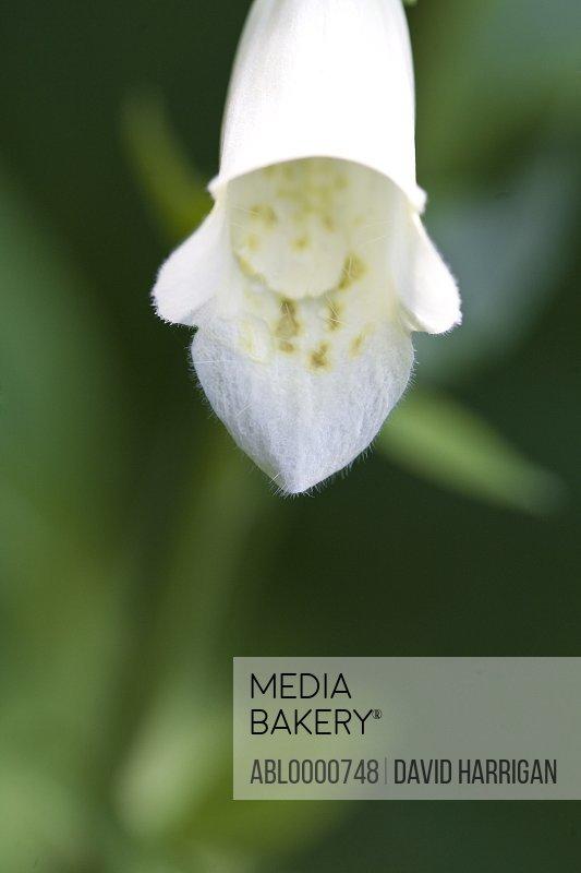 Detail of white foxglove flower - digitalis