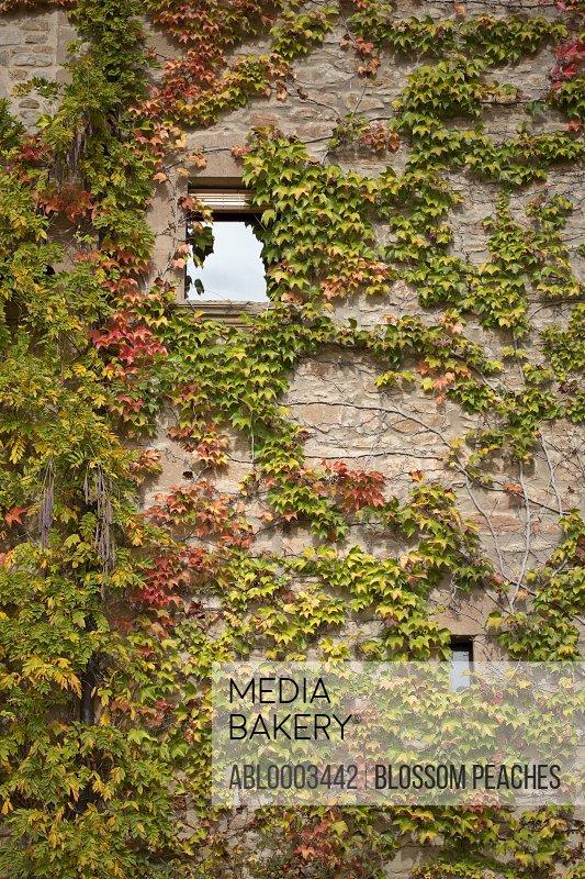 Climbing Boston Ivy on Exterior Wall