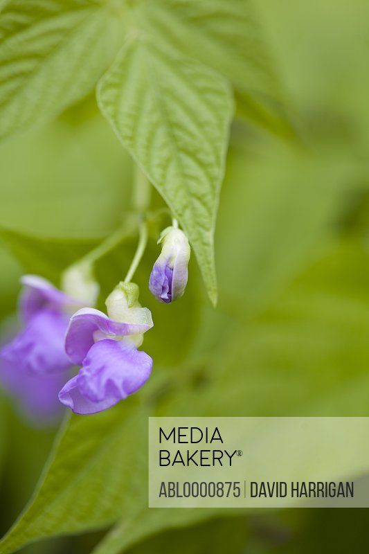 Close up of a purple sweet pea flower - Lathyrus odoratus