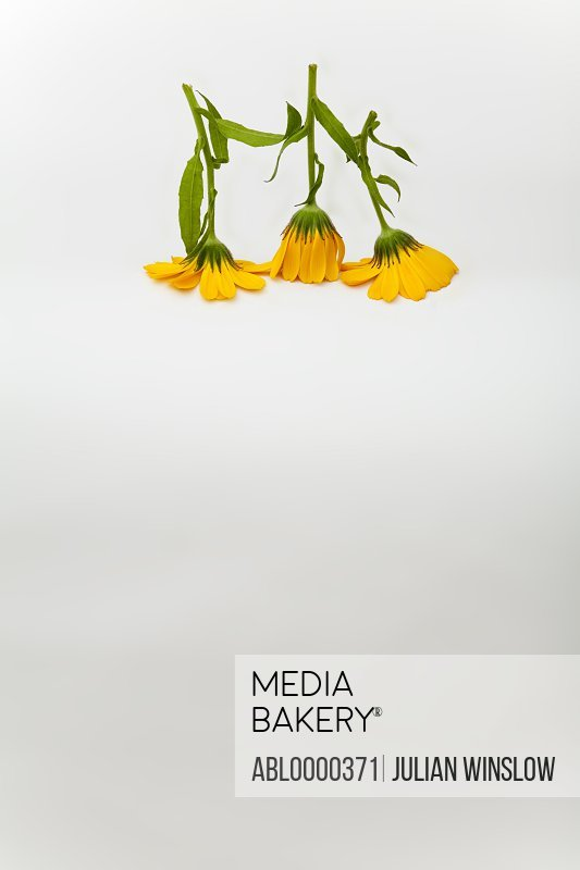 Yellow Calendula flowers upside down