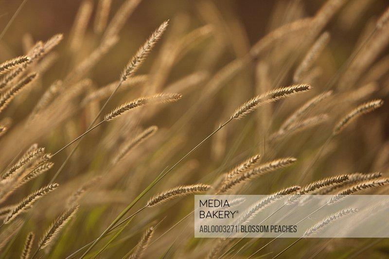 Golden Timothy Grass, Full Frame