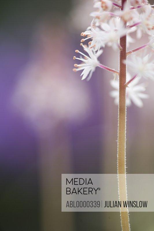 White Tiarella Cygnet