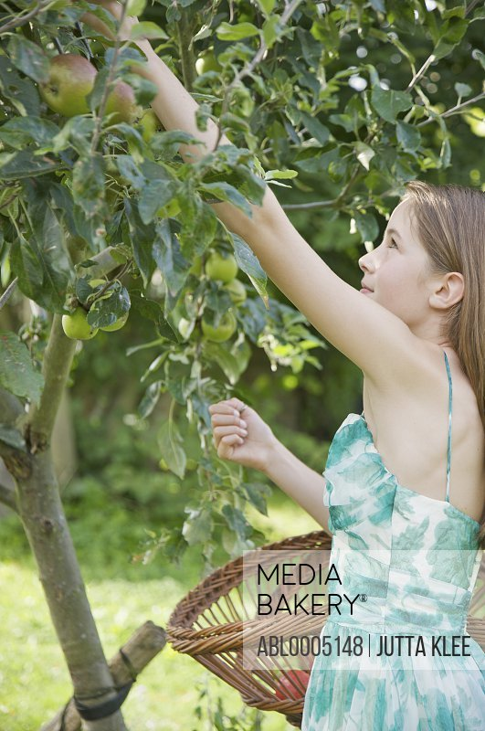 Teenaged girl standing in an apple orchard picking apples