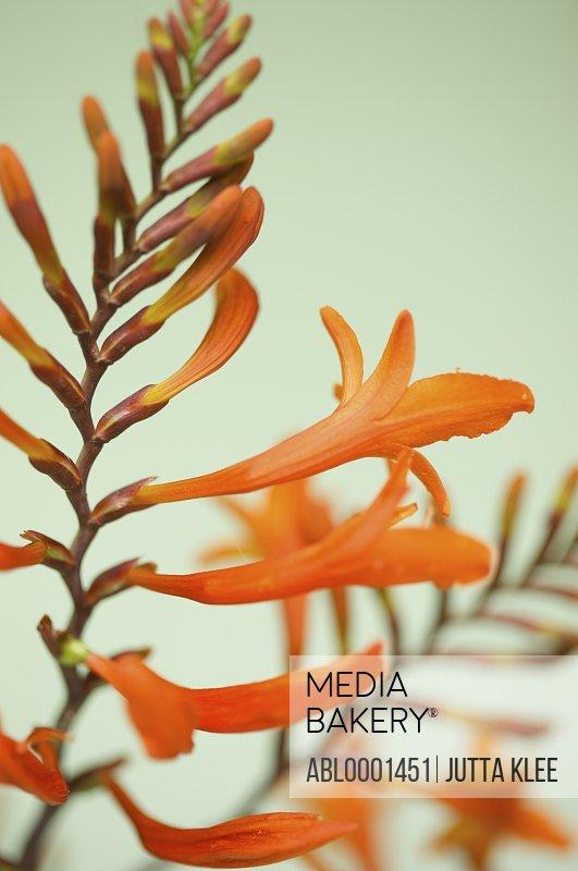 Crocosmia in bloom