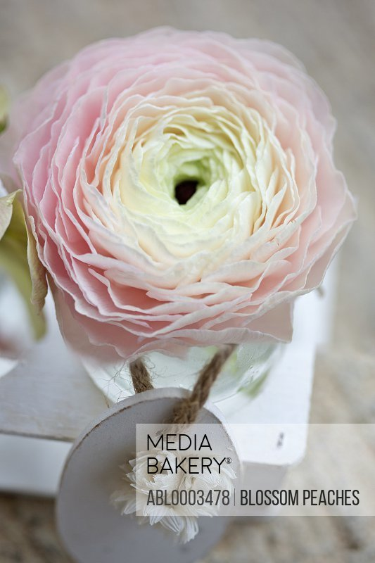 Decorations with Pink Persian Buttercup Flower, Elevated Close-up View