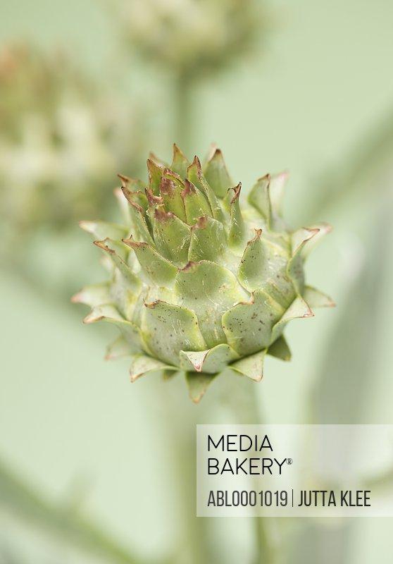 Close up of a cardoon - Cynara cardunculus