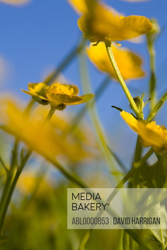 Close up of yellow buttercups - Ranunculus