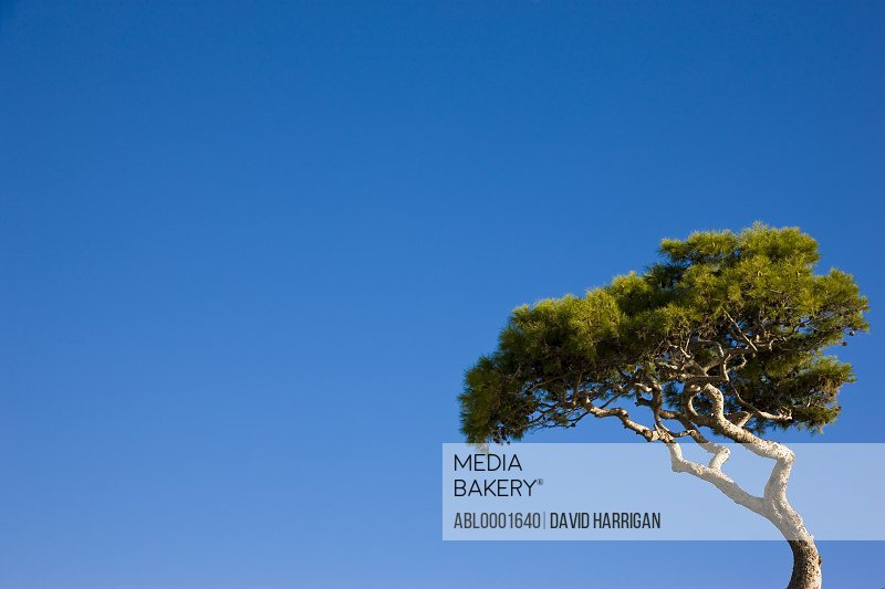 Solitary pine tree against a cloudless blue sky