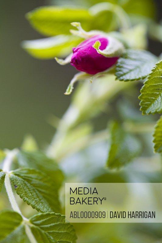 Close up of a dark pink rose bud