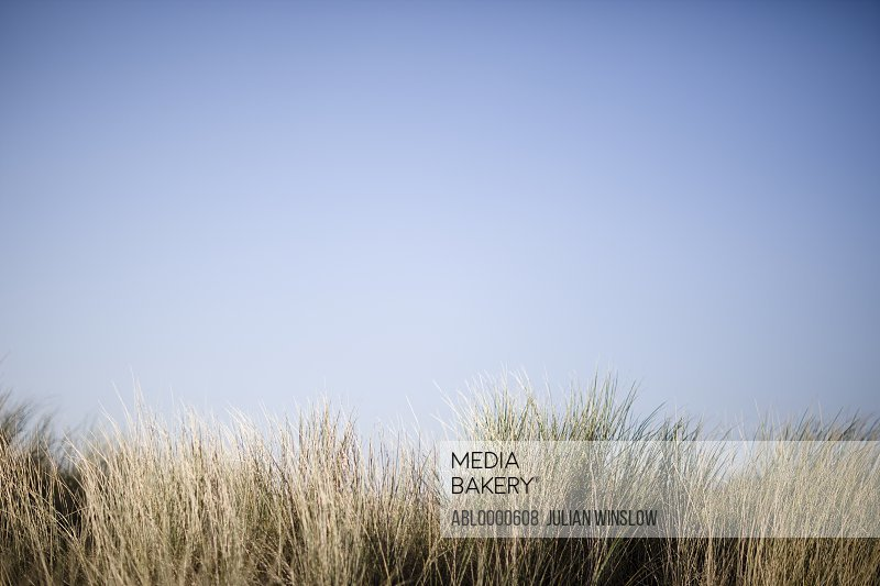 Meadow grass  and blue sky (poaceae)