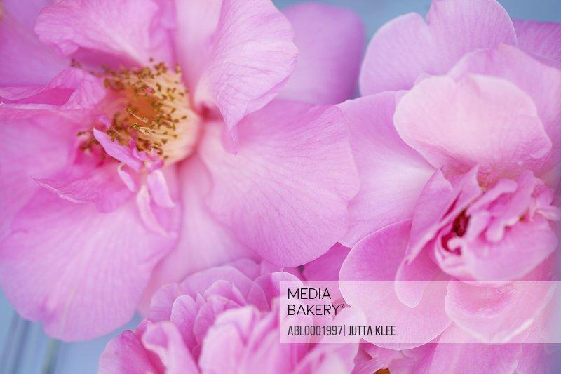 Pink Wild Roses, Rosa acicularis