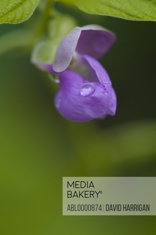 Close up of a purple sweet pea flower - Lathyrus odoratus