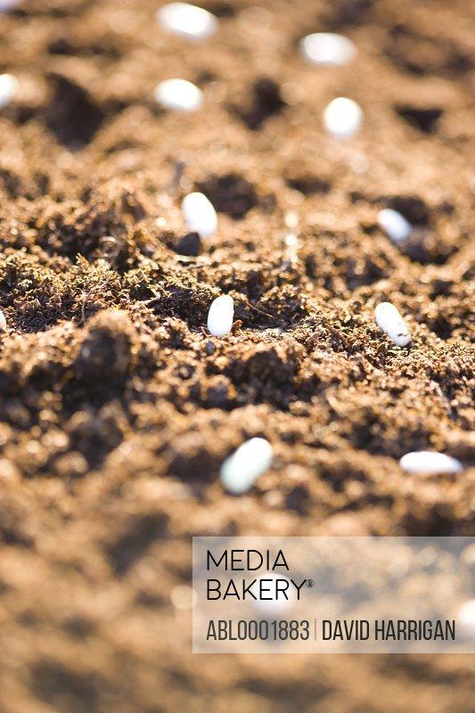 Pea seeds on soil