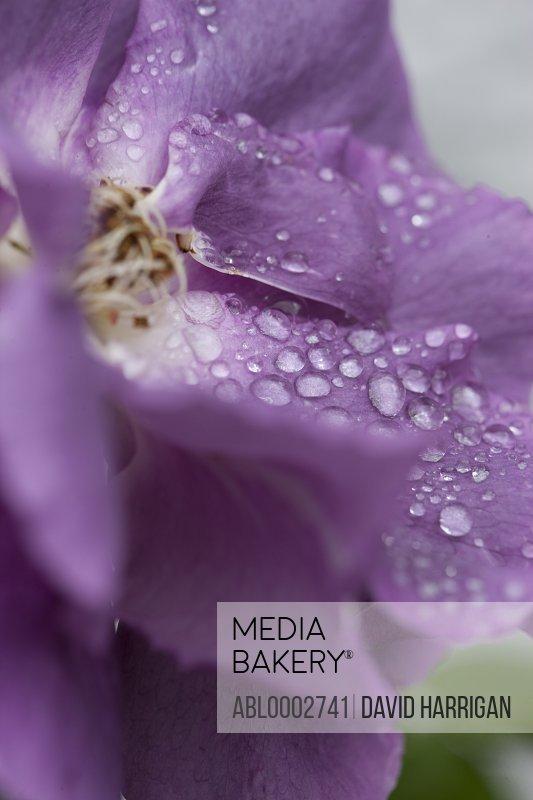 Rain Drops on Purple Rose Petals