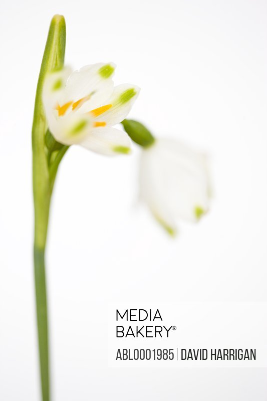 Snowdrop flowers, Galanthus nivalis