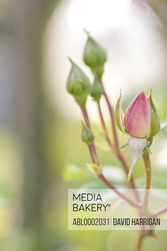 Close up of Rose Buds