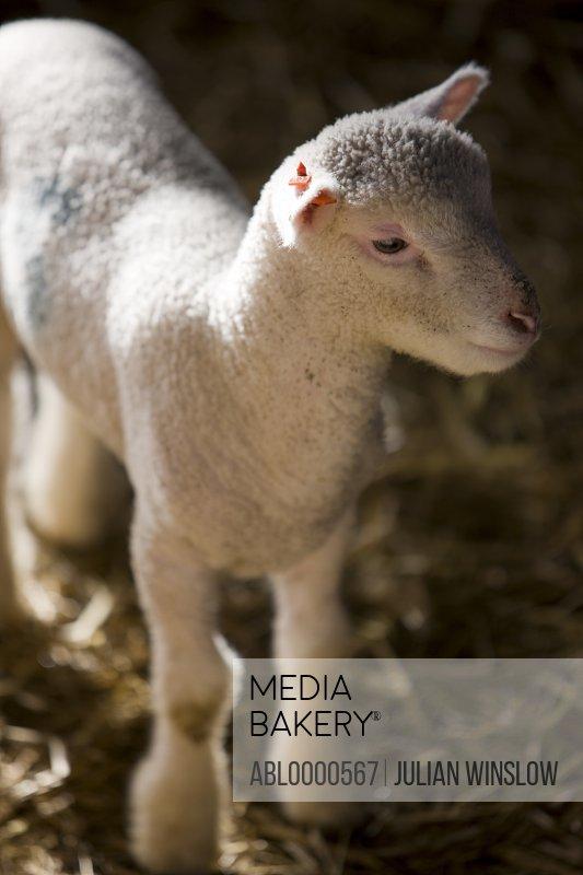 Close up of lamb