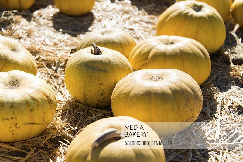 Pumpkins Lying on Hay in a Pumpkin Patch