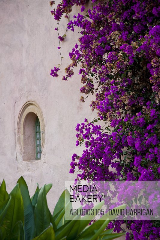 Purple Bougainvillea on Outside Wall