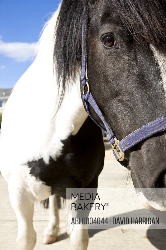 Close up of a black and white horse
