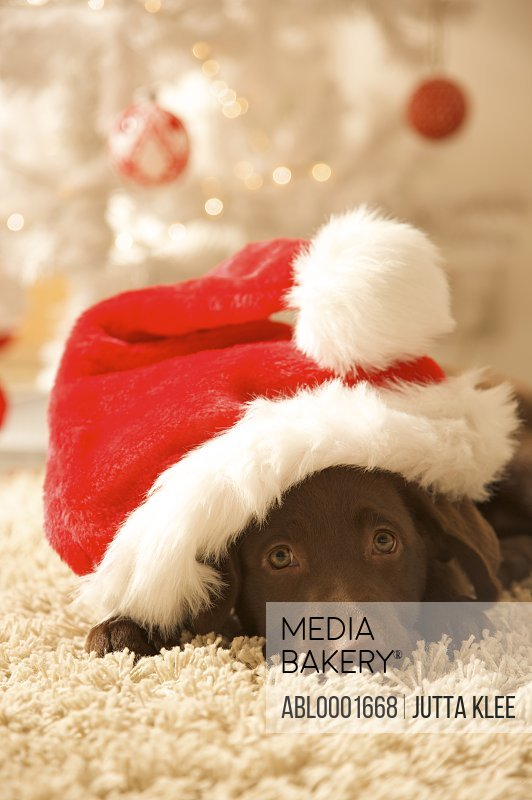Dog lying in front of a Christmas tree wearing a red and white hat