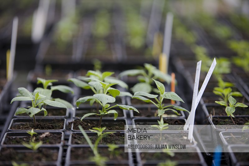 Spring seedling of organic herbs
