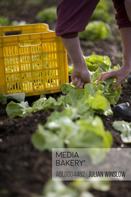 Close up of farmer's hands picking lettuce
