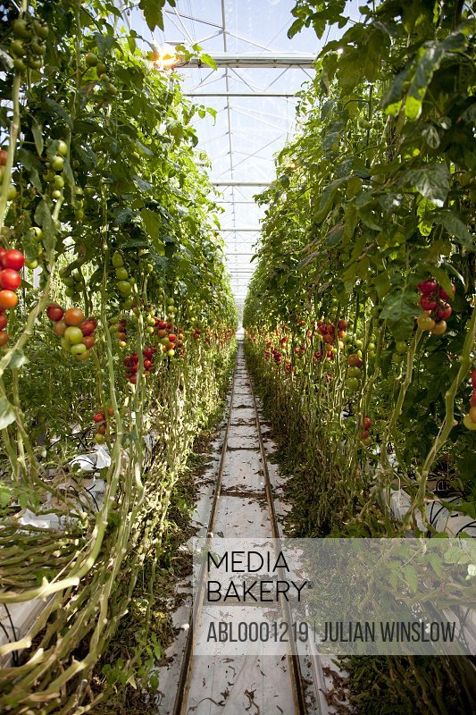 Rows of tomato plants in a greenhouse