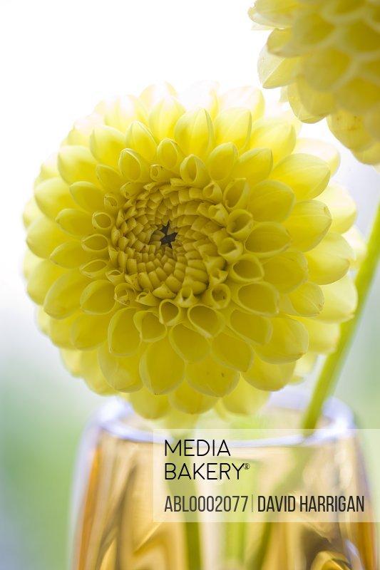 Close up of Yellow Dahlias