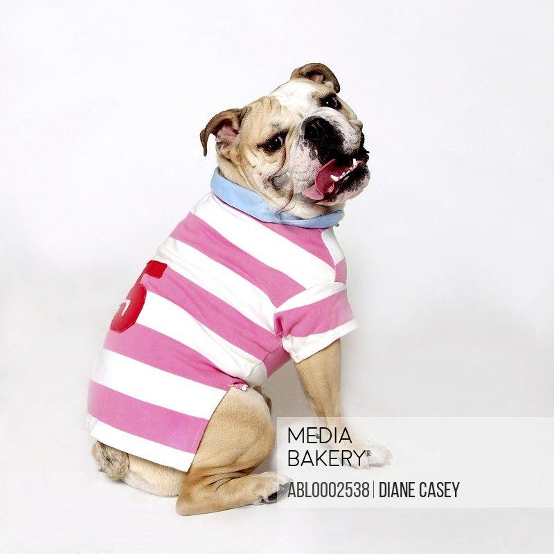 Bulldog Wearing Stripy T-shirt