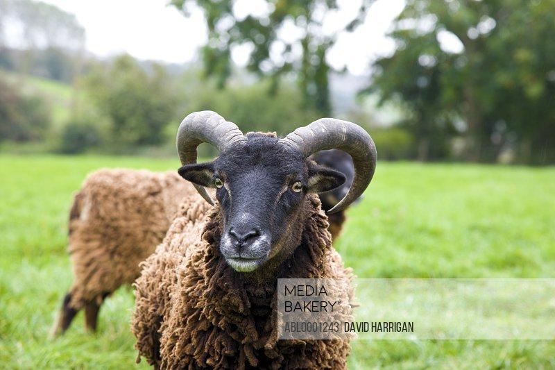 Close up of a ram