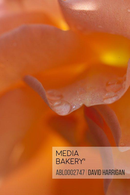 Rain Drops on Orange Rose Petals