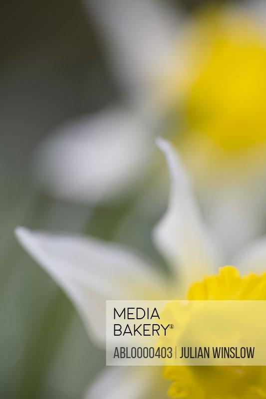 Wild daffodil          Narcissus pseudonarcissus