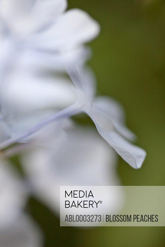 White Flower Petals, Close-up View