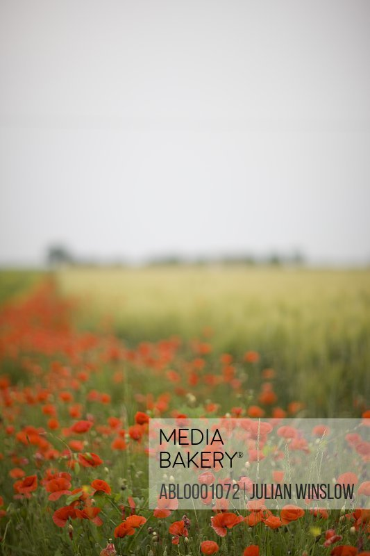 Red poppy field - Papaver rhoeas