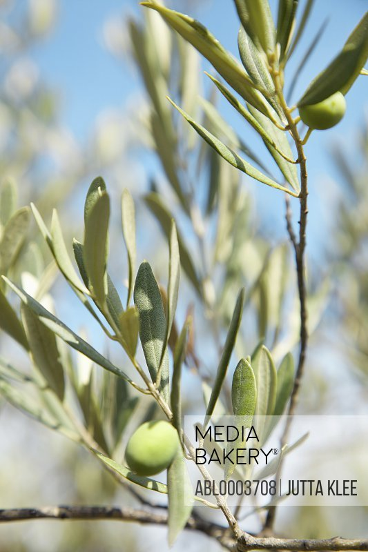 Close up of Olives on Tree Branch