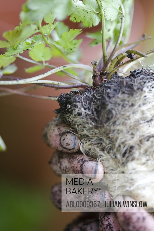 Close up of man's dirty hand holding plant and plant roots