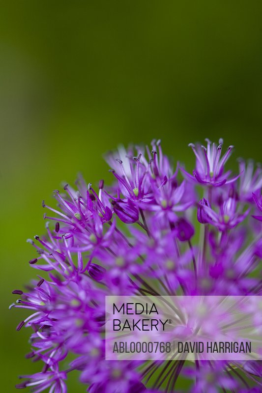 Purple alium blossom