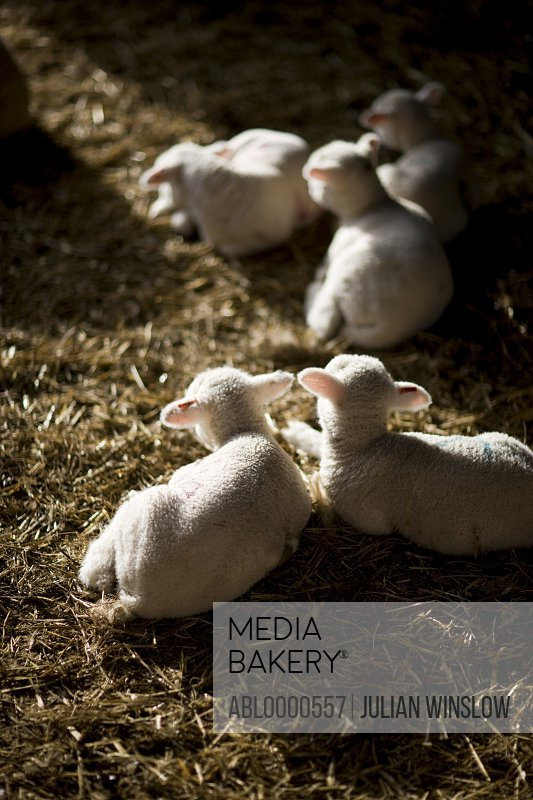 Lambs lying on straw
