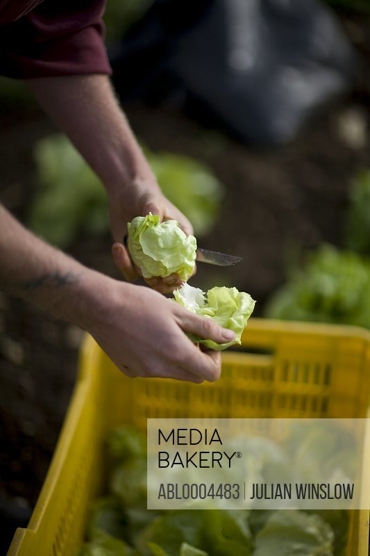 Close up of farmer's hands cutting lettuce with knife