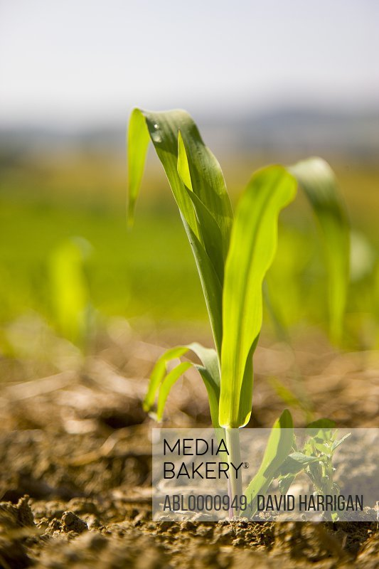 Close up of a corn seedling